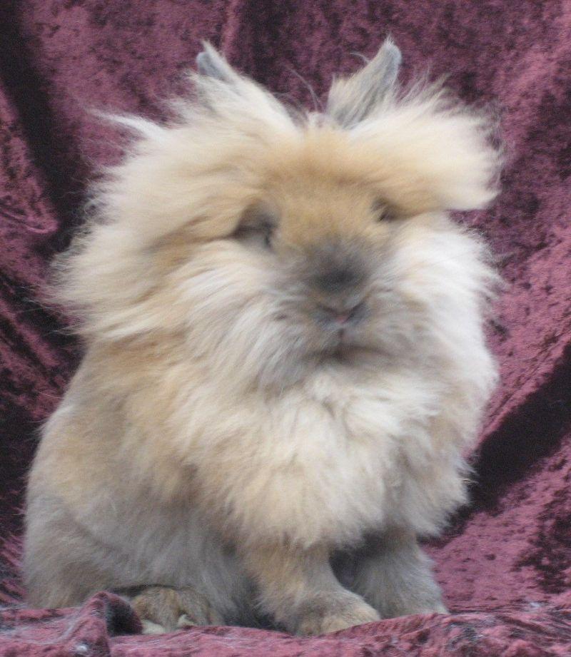 Single Mane Lionhead Rabbit